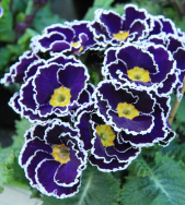 Sacarina Blue – The first sugar-frosted primrose