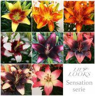 Sensation Serie (zwei-farbige asiatische Lilien)