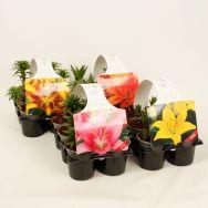 Sixpack (garten jungpflanzen)