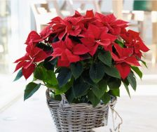 Superstars Poinsettia