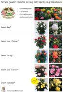 Sweet Home Roses® - Garten/Terassenrosen