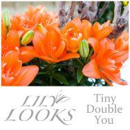 Tiny Double You (Asiatische Lilie ohne Blütenstaub, mit doppelten Blüten)
