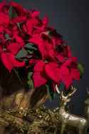 Our Poinsettia offer