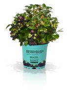 Vaccinium angustifolium P10,5 'Berrybux'®: unique hardy hedge with edible fruit