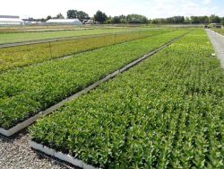 Young ornamental Nursery plants