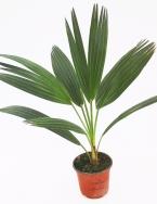 Junge Palmen