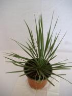 Yucca rostrata und yucca whipplei