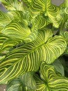 Zantedeschia aethiopica 'Green Zebra'